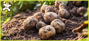 Introduction of Potato Cultivation