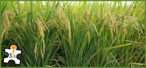 paddy-rice-crop