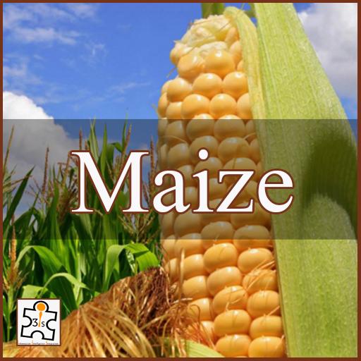 Maize EB