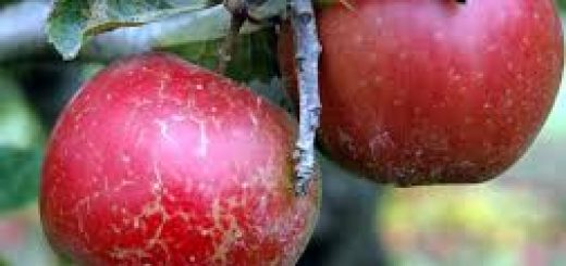 Important Diseases of Fruit Plants